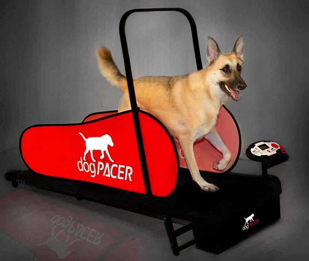 Can a Dog Use a Human Treadmill